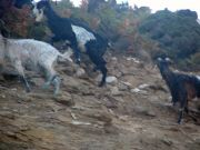 Ikaria - Ecological - Animals 24